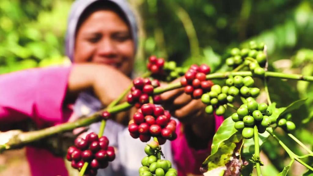 Indonesia coffee farming
